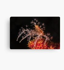 Spiny Spider  Canvas Print