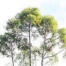 Western Australian Jarrah trees by LifeImages