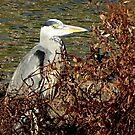 Our local heron by jchanders