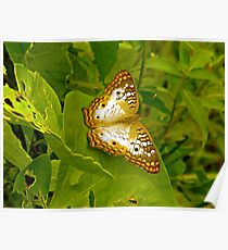 Butterfly at the Everglades Poster