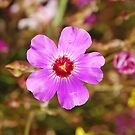 Sturt's Desert Rose, Kings Park, Perth, Western Australia by Adrian Paul
