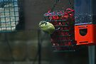 Baby Blue Tit by davesphotographics