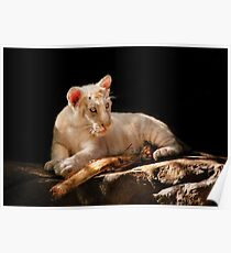 Leopard -  A baby snow Leopard Poster