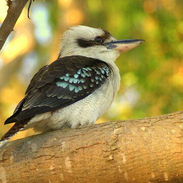 Fledgling Kookaburra at Sundown by kaety