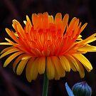 zauberhafte gelb / rote Blume mit feurigen Farben, Natur von rhnaturestyles
