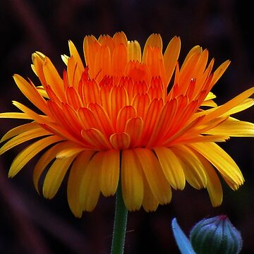 enchanting yellow / red flower with fiery colors, nature by rhnaturestyles