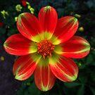 wunderschöne, bunte Blume in den Farben rot und gelb von rhnaturestyles