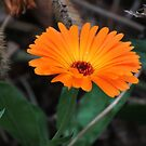 wundervolle orange Ringelblume, Blume, Natur von rhnaturestyles