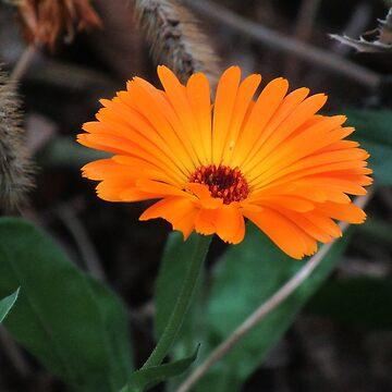wonderful orange marigold, flower, nature by rhnaturestyles