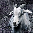 Goat At Rest by Carlo Cesar Rodillas