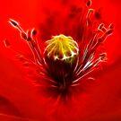 Red Poppy...... by Patriciakb