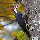 Pileated Woodpecker by lloydsjourney
