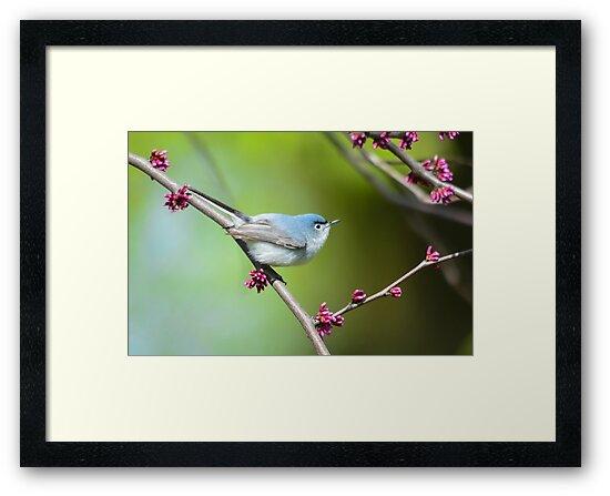 Blue-gray Gnatcatcher  by Nancy Barrett