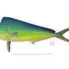 Mahi Mahi (Dolphin Fish), Coryphaena hippurus Linnaeus 1758 by StickFigureFish