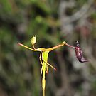 Drakaea gracilis by Colin12