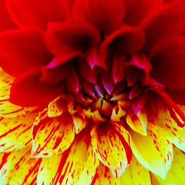 Two Toned Dahlia by lenzart