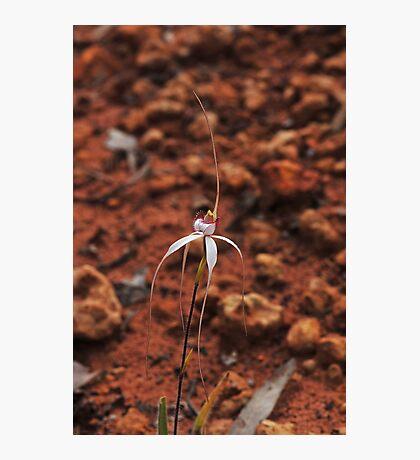 Caladenia longicauda ssp eminens Photographic Print
