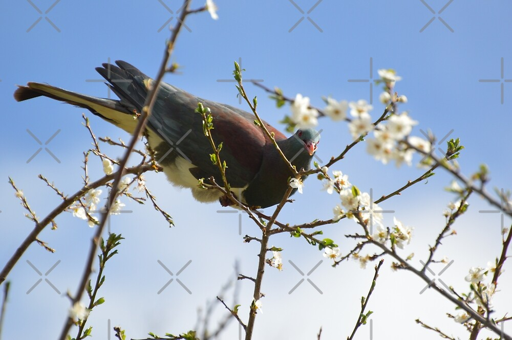 Kereru, Native Wood Pigeon by Barbara Caffell