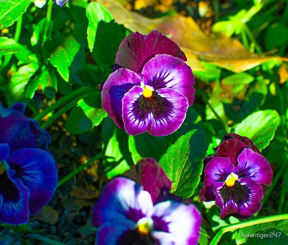 Violet Pansies by Asiantiger247