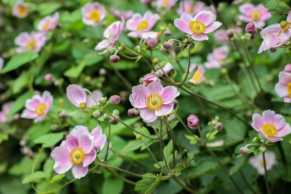 Pink flowers of Chinese anemone by Vanka