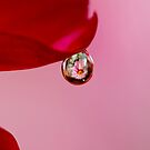 Dahlia in water droplet by MayJ