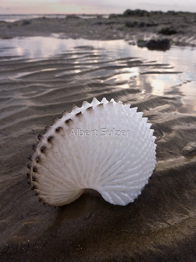 Paper Nautilus Shell by Albert Sulzer