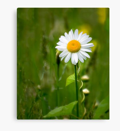 Daisy In the Meadow Canvas Print