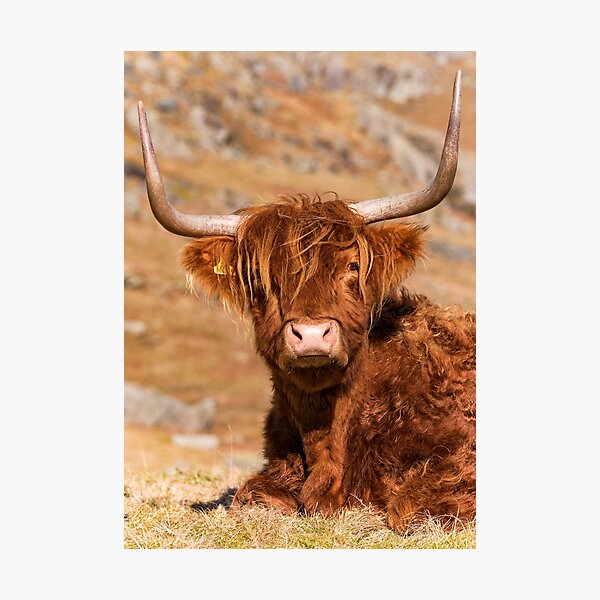 Cute Highland Cow lady Photographic Print