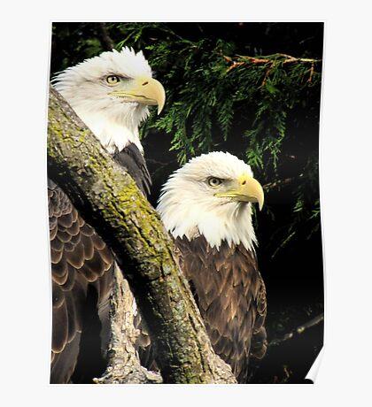 Bald Eagles Poster
