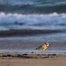 Sandpiper by Brian Haidet