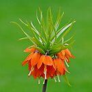 Orange, Crown Victorian Lilly by Rodney55