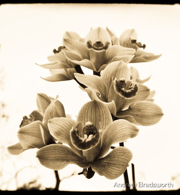 orchids by Andrew Bradsworth