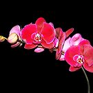 Beautiful Red Orchid Spray by vette