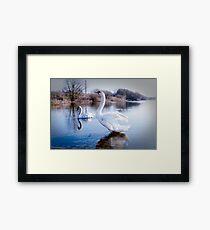 Swan, early morning stretch Framed Print