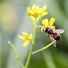Bee on  mustard by indiafrank