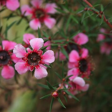 Leptospermum scoparium by annyarden