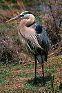 Great Blue Heron posing by Larry  Grayam