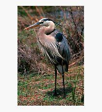 Great Blue Heron posing Photographic Print