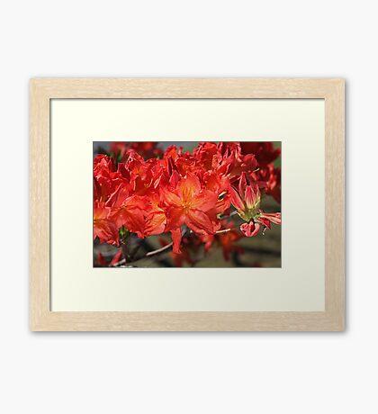 Burnt Orange Azalea Flowers Framed Print