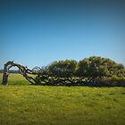 The Leaning Tree, Greenough, Western Australia by Elaine Teague