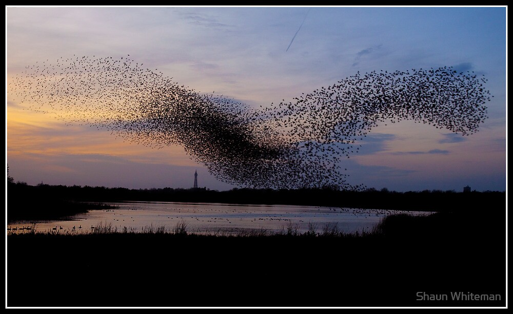 Starlings dancing over Blackpool tower by Shaun Whiteman