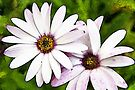 Daisies watercolour by PhotosByHealy