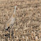 Sandhill Crane 2018-7 by Thomas Young