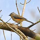 Black-crested Titmouse .  by Irvin Le Blanc