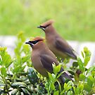 Cider Waxwing by Irvin Le Blanc