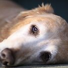 Tired Old Dog by CDNPhoto