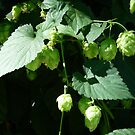 Ornamental hops by nealbarnett