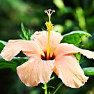 Hibiscus in Bloom by CDNPhoto