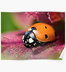 Ladybird - Ladybug - Marienkäfer - Glückskäfer II Poster