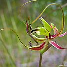 Forrest Mantis Orchid by JuliaKHarwood